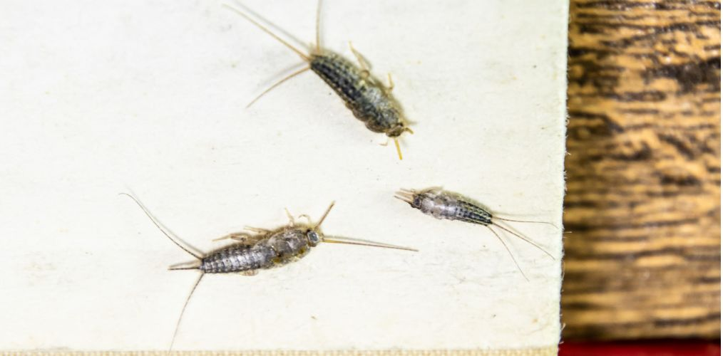 How do you Prevent Silverfish When Packing up Your Christmas Decorations