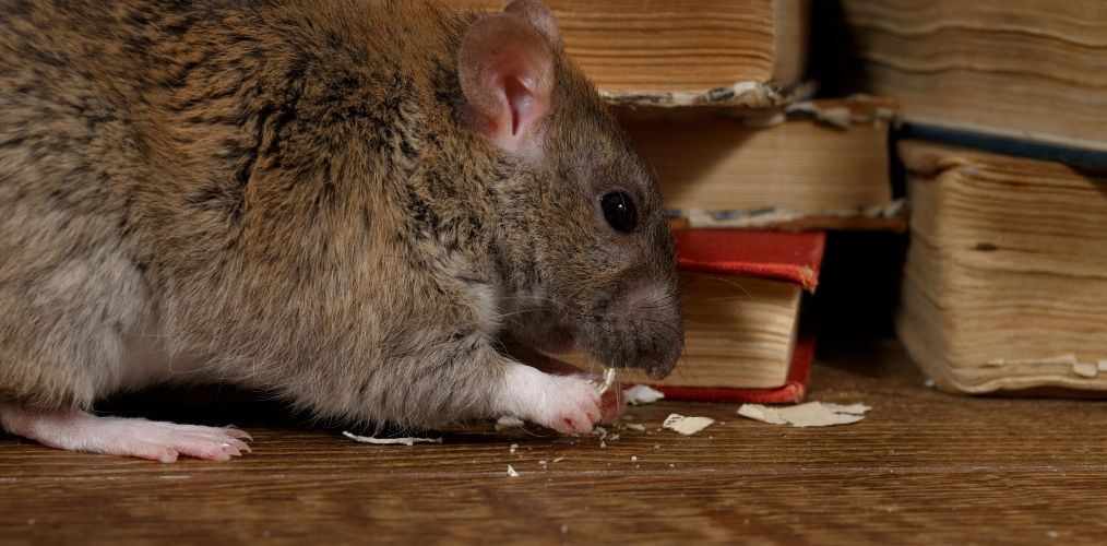Rats and Mice Pest Removal North Brisbane
