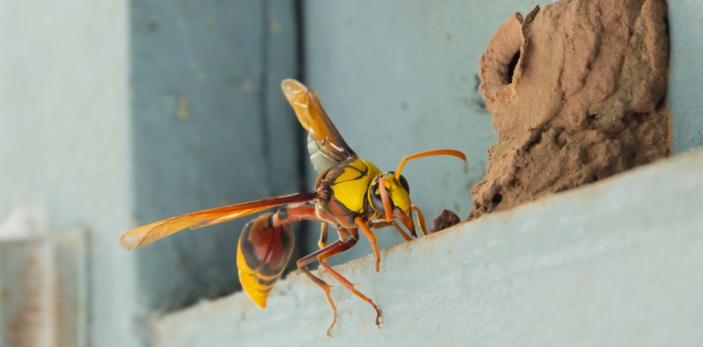Wasp Pest Control North Brisbane