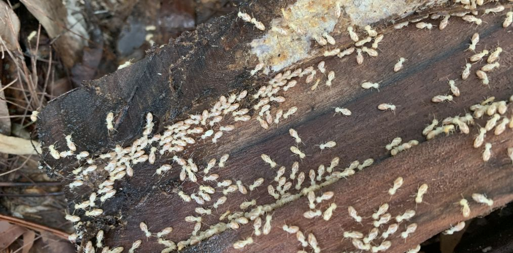 High risk termite areas brisbane