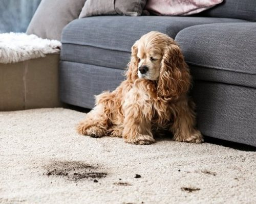 dog sitting on muddy carpet